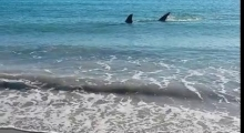 White Pointer Shark swims onto Coronation beach North of Geraldton, Western Australia.