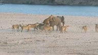 Young elephant  attack by 14 Lions